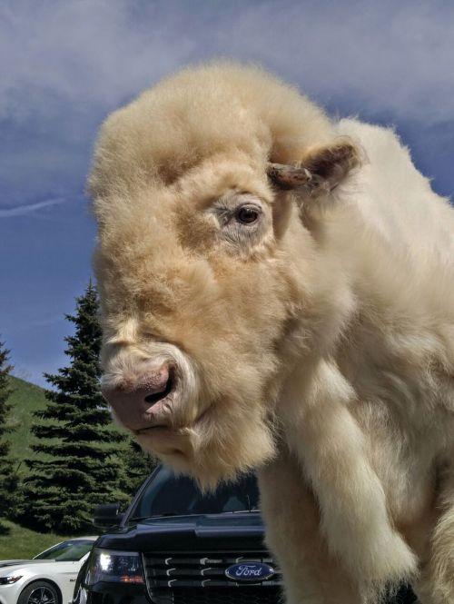 A white buffalo
