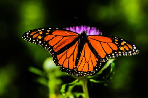 Monarch butterfly - by Sean Stratton