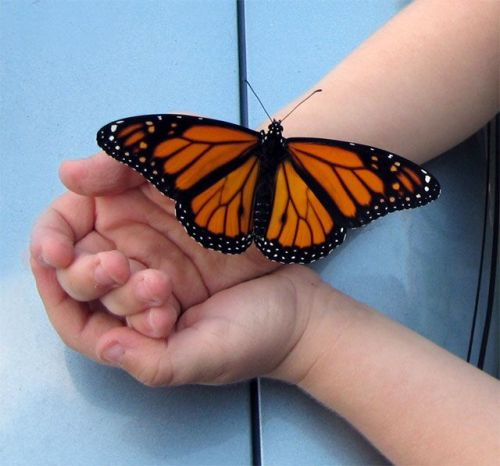 Monarch in the hand