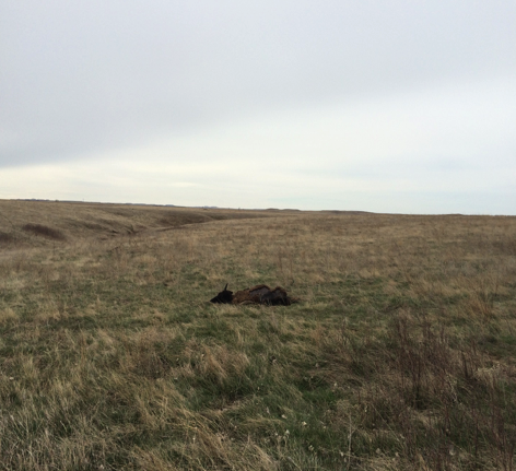 Dead buffalo from Rozol near Standing Rock - EPA