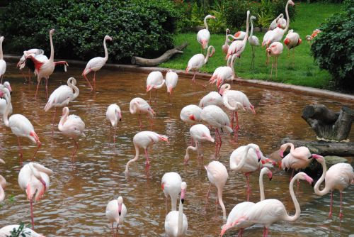 Animal species, fowl, fauna, and ecosystems face extinction as climate warms - flamingos in Hong Kong - photograph by C.S. Hagen