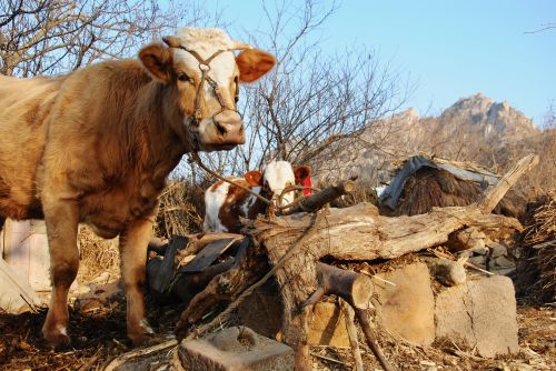 Livestock will face new diseases if global warming continues - Shandong, China - photograph by C.S. Hagen