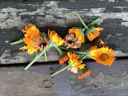 Calendula - photograph by Dana Thompson