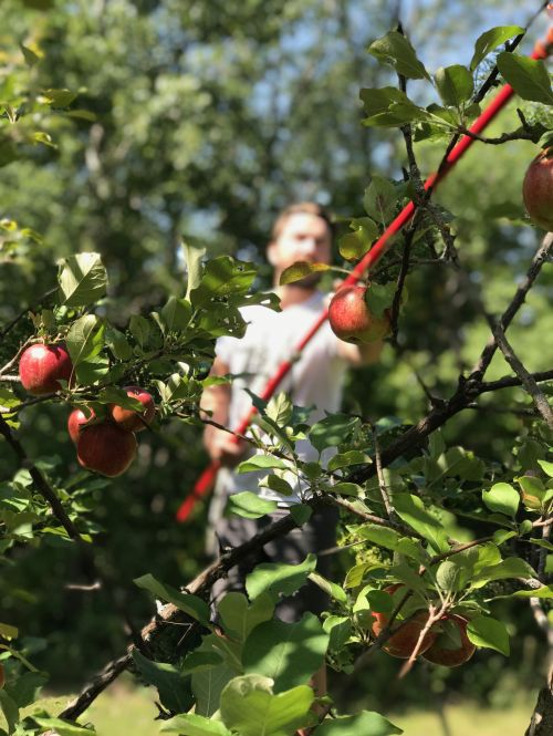 Picking apples - photograph provided by Wild TERRA
