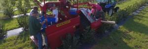 Aronia Berry Harvest Festival