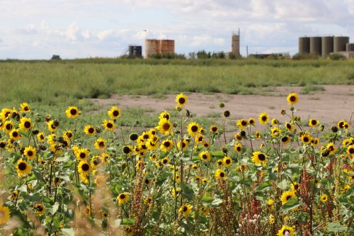 Flowers, salted land, and oil - photograph by C.S. Hagen