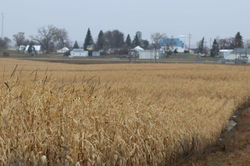 Uncut corn surrounds the town of Robinson in mid November - photograph by C.S. Hagen