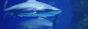 Shark Feasts